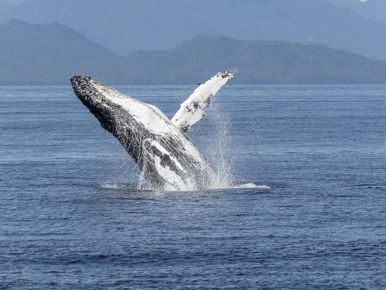 Baleine à bosse, Nuquí
